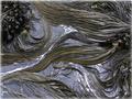 Bull kelp.png