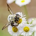 Bumble Bee on Daisy Fleabane (27264847130).jpg