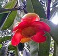 Bunga asam gelugur betina kr.jpg