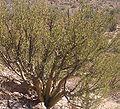 Bursera-microphylla-organpipe.jpg