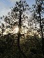 Butano Ridge Chaparral - Flickr - theforestprimeval (36).jpg