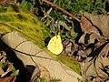Butterfly-101-bsi-yercaud-salem-India.jpg