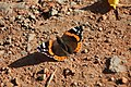 Butterfly Vanessa atalanta.jpg