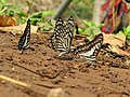 Butterfly mud-puddling at Kottiyoor Wildlife Sanctuary (24).jpg