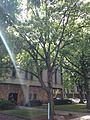 C31-Quercus alba (White Oak)-1.JPG