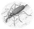 COLE Cerambycidae Nesoptychia simpliceps.png
