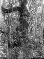 COLLECTIE TROPENMUSEUM Met mos begroeide Vaccinium in het bos bij de vulkaan Kawi TMnr 10024192.jpg