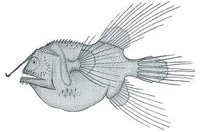 Caulophryne jordani, Weibchen
