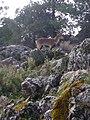 Cabra montesa en la Sierra de Grazalema.jpg