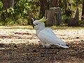 Cacatua galerita -Merimbula, New South Wales, Australia-8.jpg