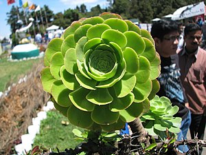 English: Cactus type of succulent plant