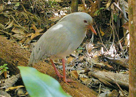 The kagu, an endemic flightless bird Cagou.jpg