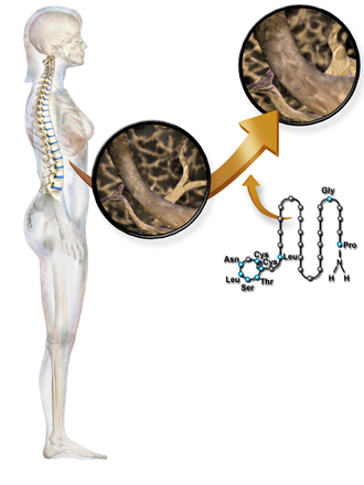 Calcitonin - Calcitonin affecting the spine.