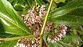 Callicarpa japonica at Pengjia islet.jpg