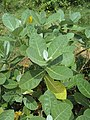 Calotropis gigantea - Crown Flower at Peravoor 2014 (15).jpg