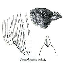 CamarhynchusHabeliPZSL1870.jpg