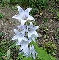 Campanula latifolia, Giant Bellflower, Annick Water, Stewarton, Ayrshire, Scotland.jpg