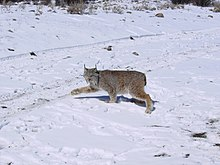A Canada lynx walking on snow