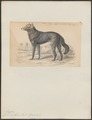 Canis nubilus - 1833-1866 - Print - Iconographia Zoologica - Special Collections University of Amsterdam - UBA01 IZ22200387.tif