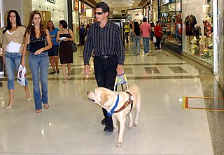 Guide dog Assistance dog trained to lead blind or visually impaired people around obstacles