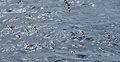 Cape(Pintado) Petrel 06.jpg
