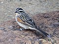 Cape Bunting Emberiza capensis.jpg