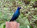 Cape Glossy Starling.jpg