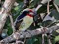 Capito niger - Black-spotted barbet (male); Manaus, Amazonas, Brazil.jpg