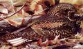 Caprimulgus carolinensisMDF28N01B.jpg
