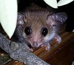 Description de l'image Captive southwestern pygmy possum at Cleland Wildlife Park, South Australia 2013.jpg.