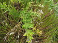 Carduus pycnocephalus leaf4 ST (14942705853).jpg