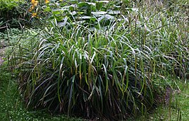 Carex-pendula-total.JPG