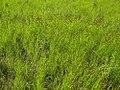 Carex crawfordii plant (3).JPG