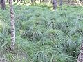 Carex divulsa subsp. leersii Habitat 2011-6-23 SierraMadrona.jpg