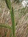 Carex elata inflorescens (06).jpg