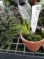 Carex flagellifera 'Toffee Twist' - Lyman Plant House, Smith College - DSC04215.JPG