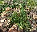 Carex pendula plant (4).jpg