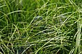 Carex pennsylvanica 1zz.jpg