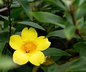 Gelsemium sempervirens - Carolina jasmine or Carolina jessamine -- Gelsemium sempervirens