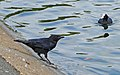 Carrion Crow and Coot - geograph.org.uk - 1495558.jpg
