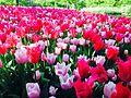 Castello di Pralormo - tulipani.jpg