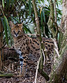 Cat Survival Trust Leptailurus serval.jpg