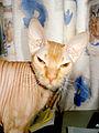 Cat sphynx 1.jpg