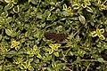 Caterpillar on Thymus citriodorus 01.jpg