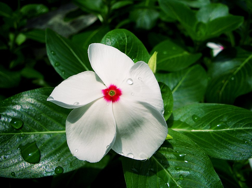 Catharanthus roseus white CC-BY-SA