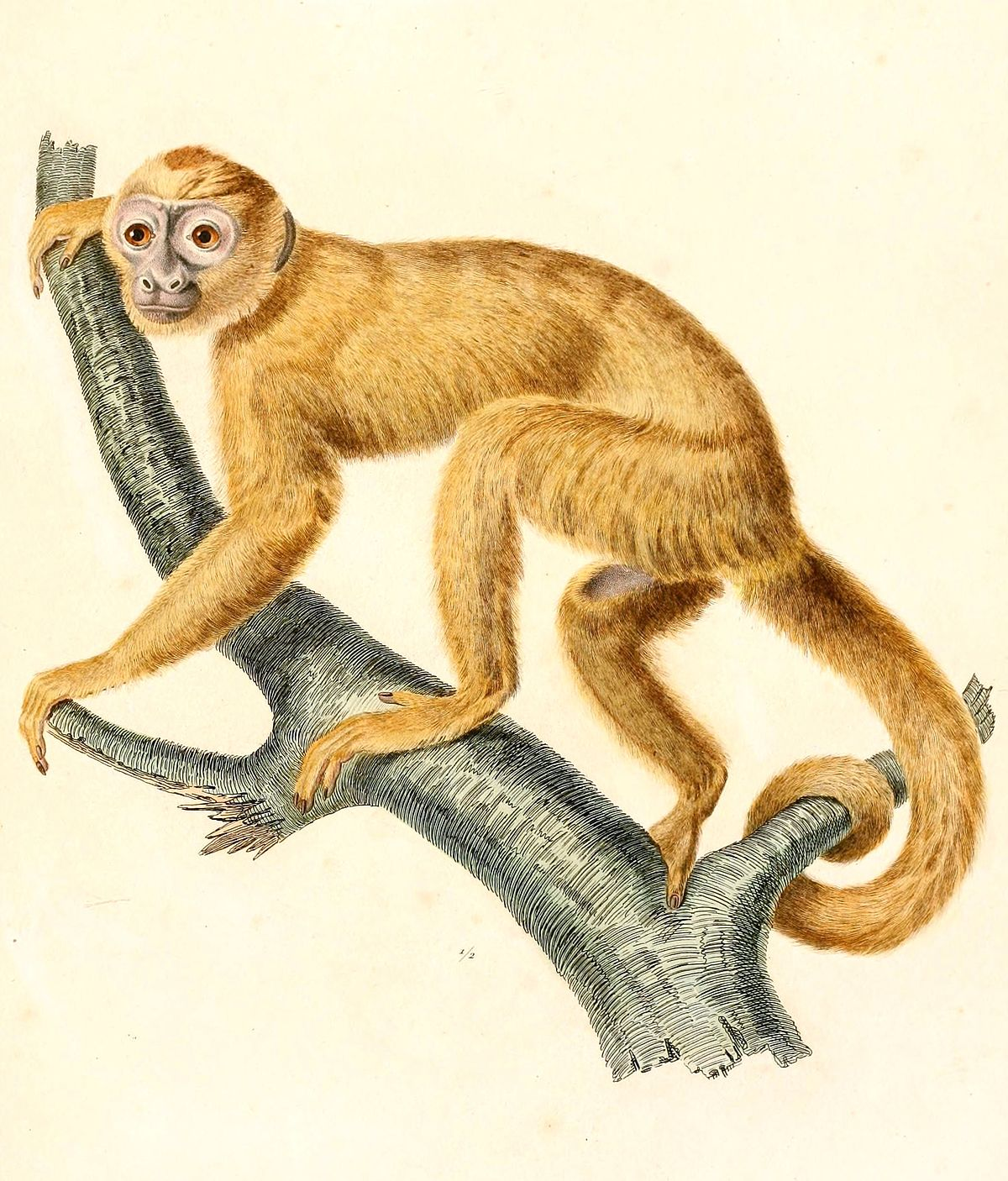 cooperation capuchin monkeys Without inequity aversion's rejection of injustice, stable cooperation would be harder to maintain (for instance an experiment on capuchin monkeys.