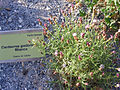 Centaurea gadorensis Habitus 2010-7-17 JardinBotanicoHoyadePedraza.jpg