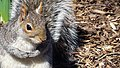 Central Park - Content Squirrel 3 (New York) (30301417057).jpg