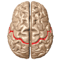 Central sulcus superior view.png