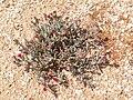 Cephalophyllum alstonii PICT2700.jpg